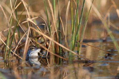 Moorfrosch (Rana arvalis) in der Senne