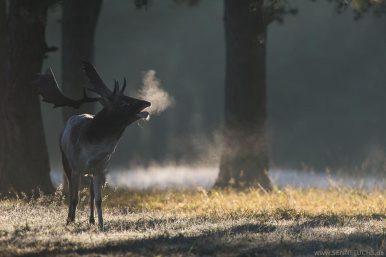 Brunftender Damhirsch im Morgenlicht mit Atemwolke