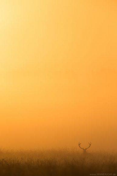 Rothirsch im Morgenrot