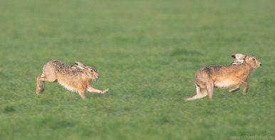 Rammelzeit - die Paarungszeit der Hasen