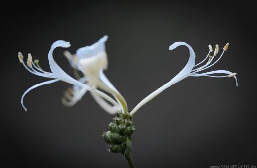 Blüte des Wald-Geißblatt (Lonicera periclymenum)