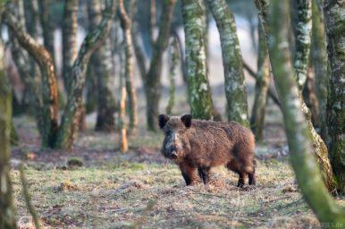 Wildschwein im Birkenwald