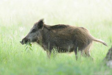 Überläufer - ein einjähriges Wildschwein.