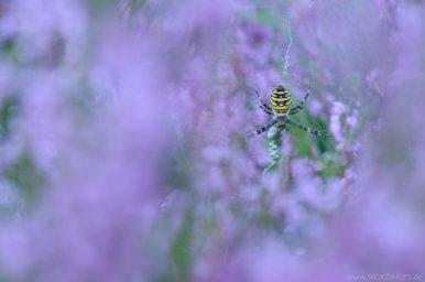 Wespenspinne in der Heide.