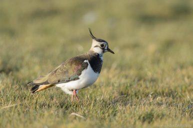 Kiebitz - Vogel der Feucht- und Grünlandbereiche